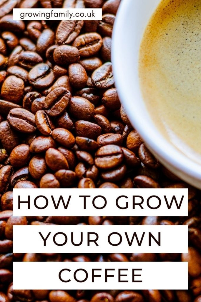 Like the idea of creating a mini coffee plantation in your garden? Discover the best tips on how to grow coffee plants here.