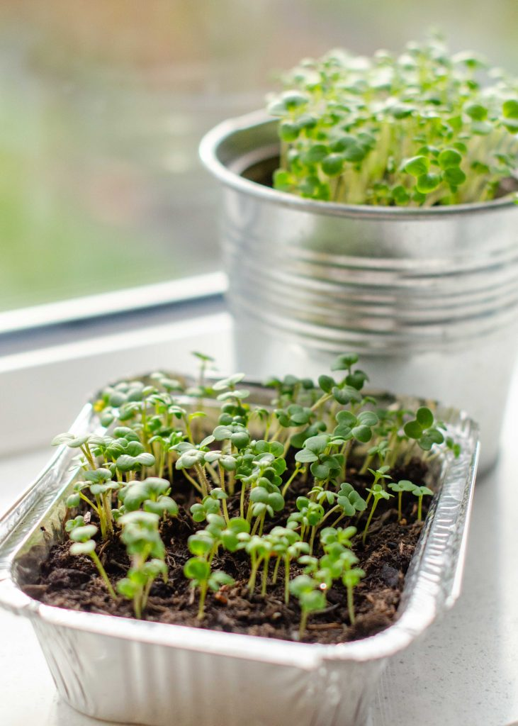 the best microgreens to grow