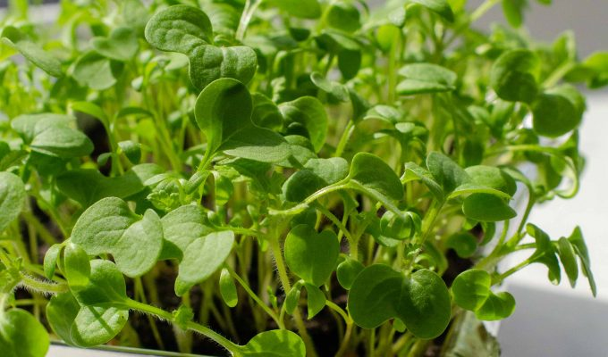The best microgreens to grow, and how to grow microgreens at home