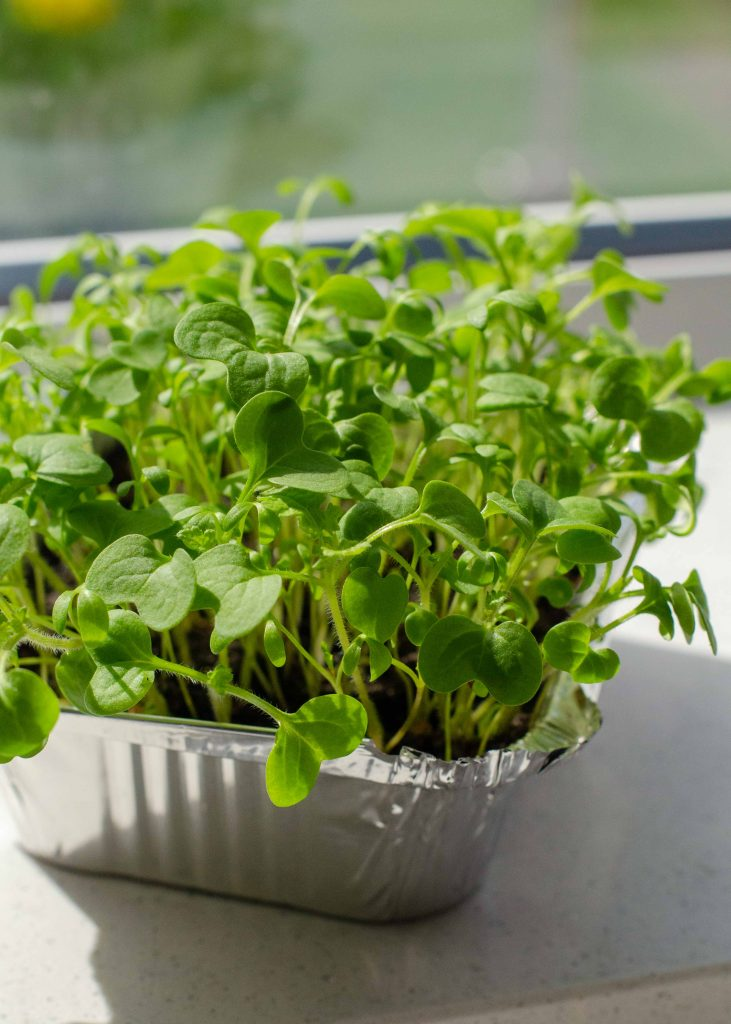 closeup of microgreen seedlings