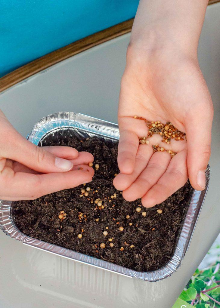 planting microgreen seeds