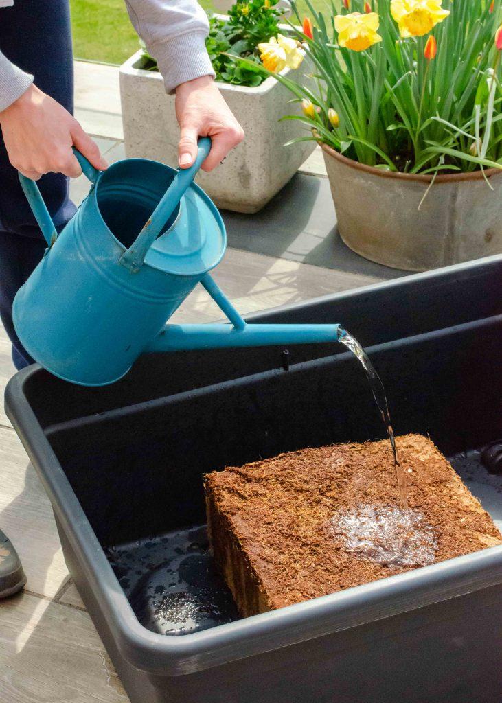 adding water to a coco coir brick