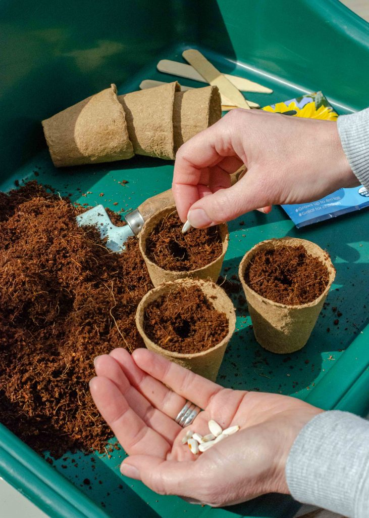 planting sunflower seeds in a small plant pot