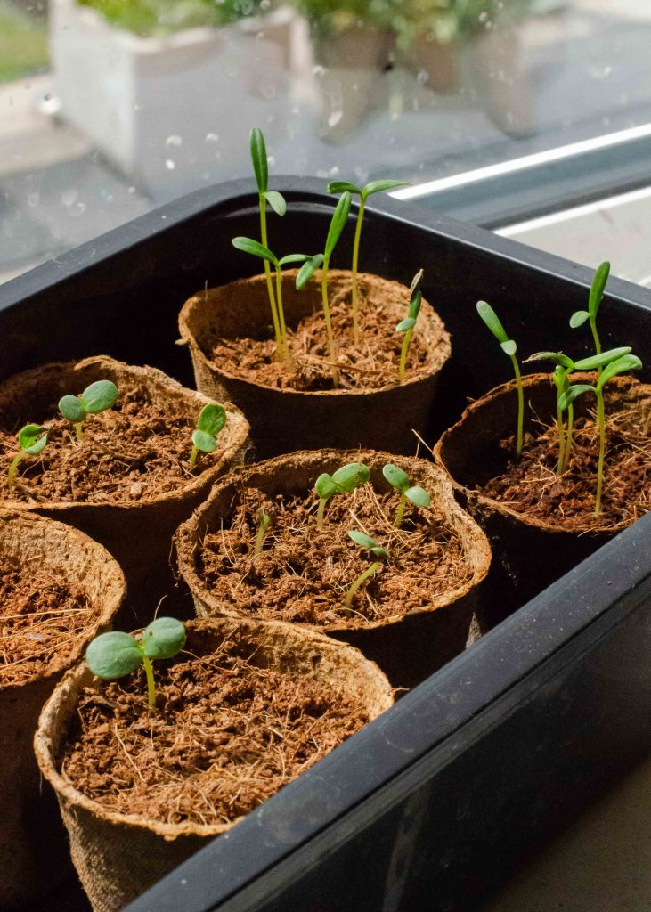 plant seedlings growing in coir pots and coco peat compost