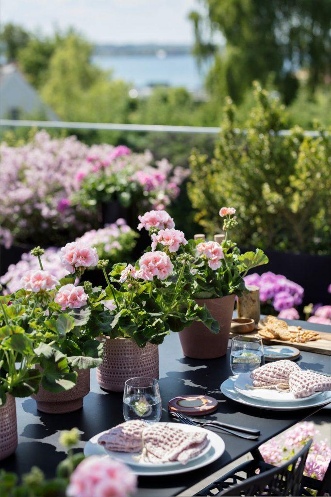 pelargonium plants on outdoor dining table