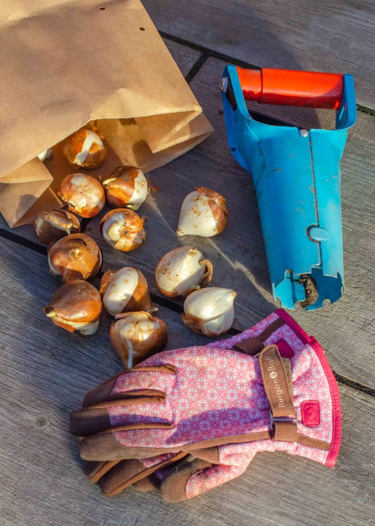 spring bulbs with gardening gloves and planting tool