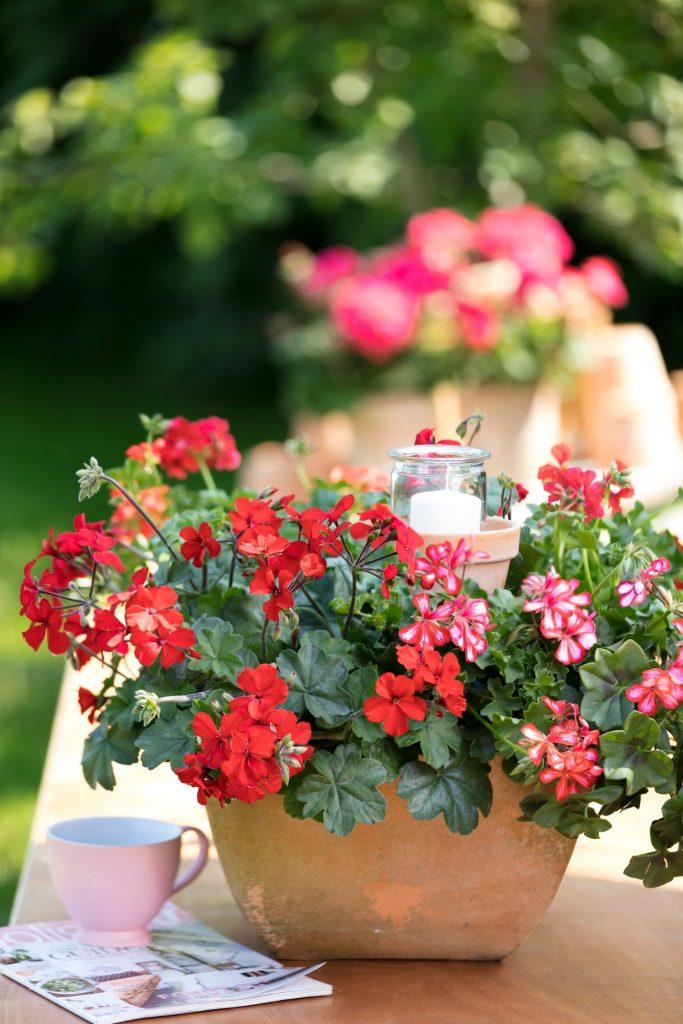 pelargonium plants in terracotta pot