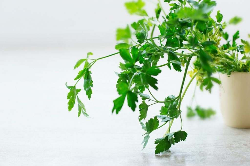 growing parsley indoors in a container