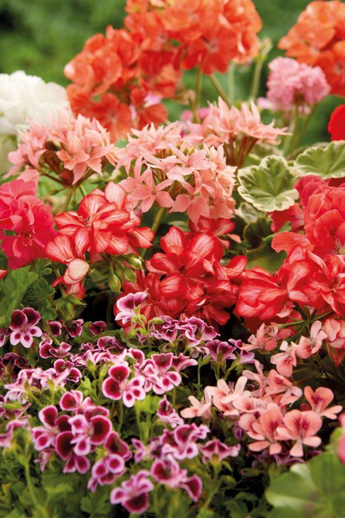 pelargonium flowering plants
