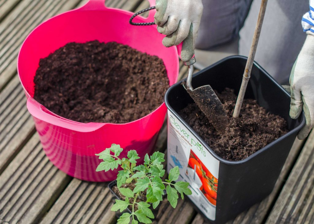 planting a tomato plant in a pot