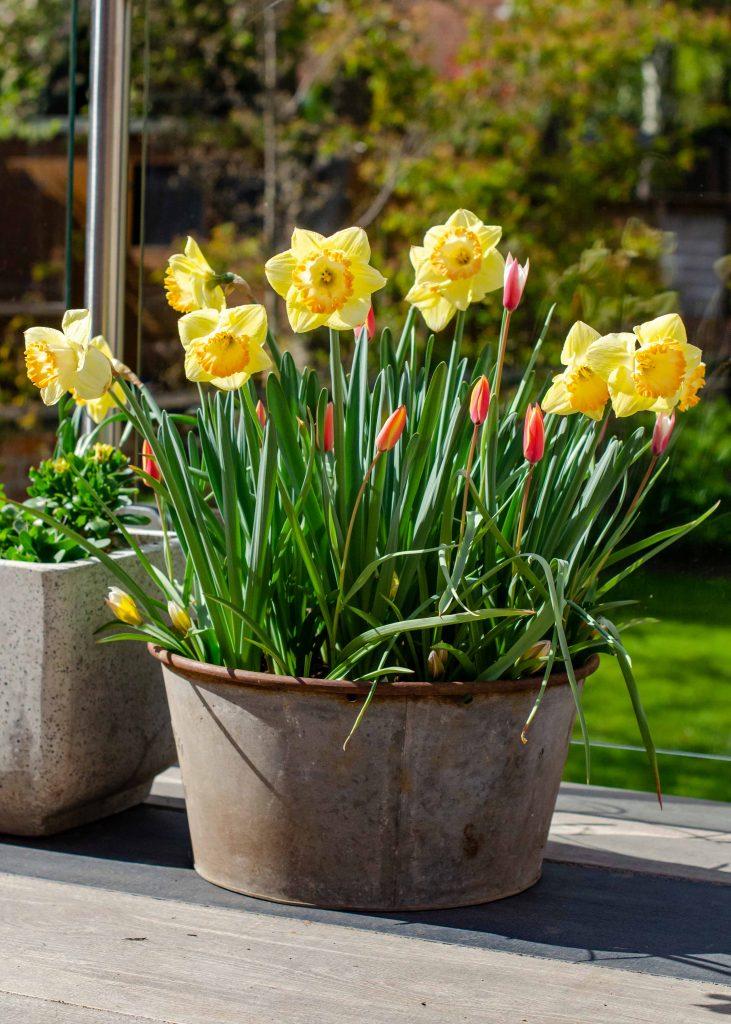 spring bulbs display of tulips and daffodils