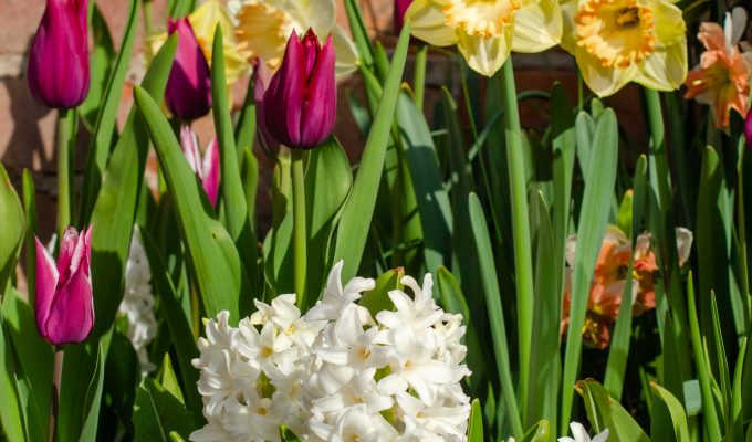 Stunning spring bulbs from DutchGrown