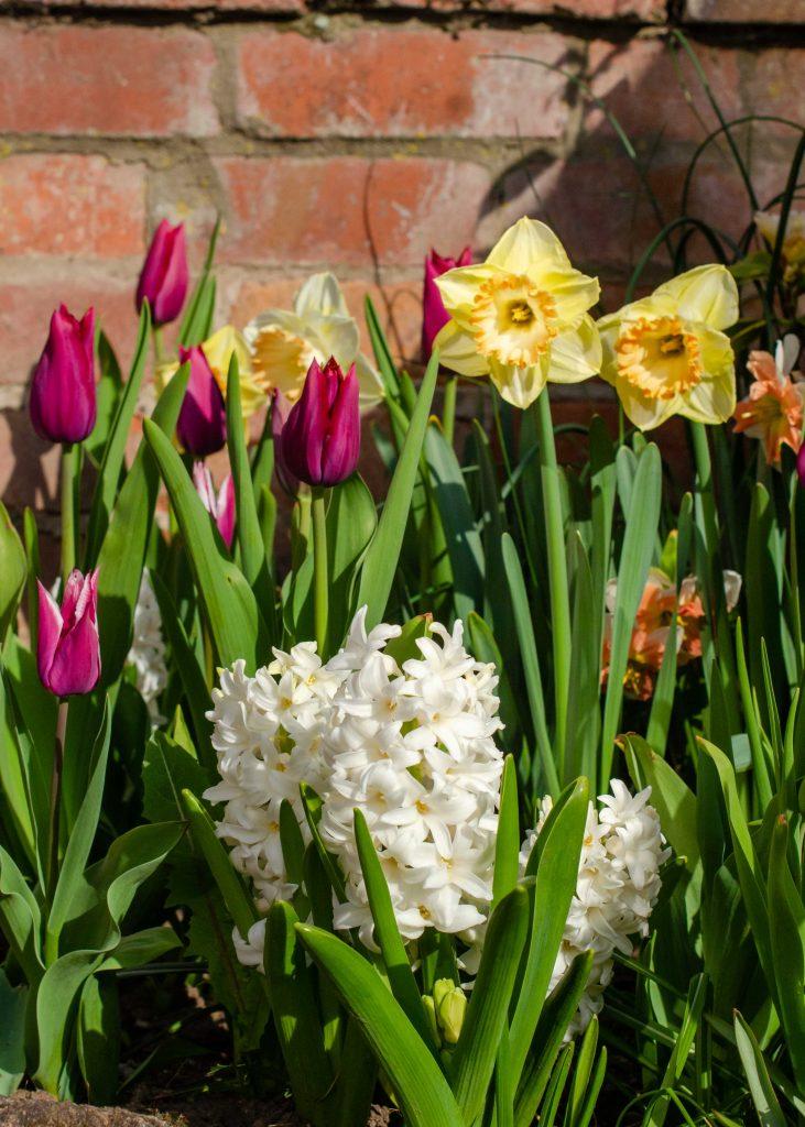 spring bulbs display of tulips, daffodils and hyacinths