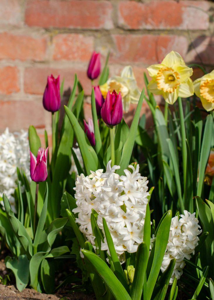 spring bulb display of tulips, daffodils and hyacinths
