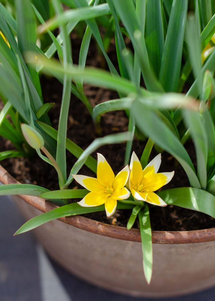 miniature tulip flowers