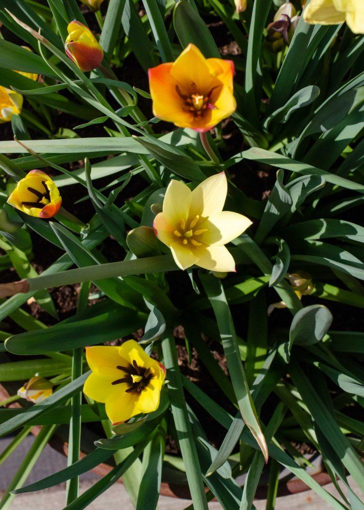 spring bulbs display of tulips