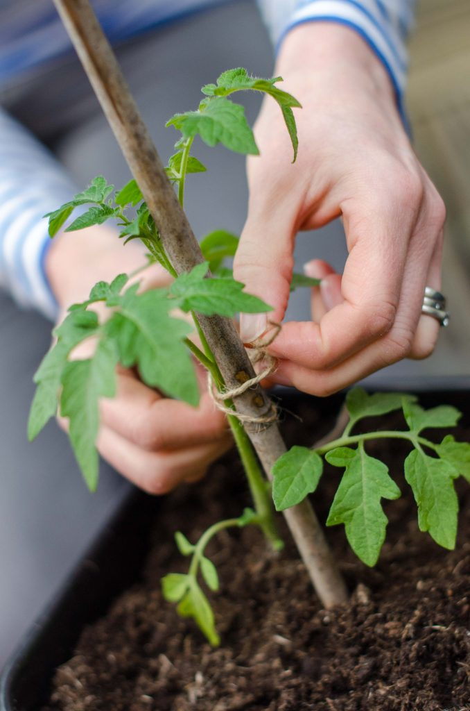 vegetables to grow in pots - tomatoes