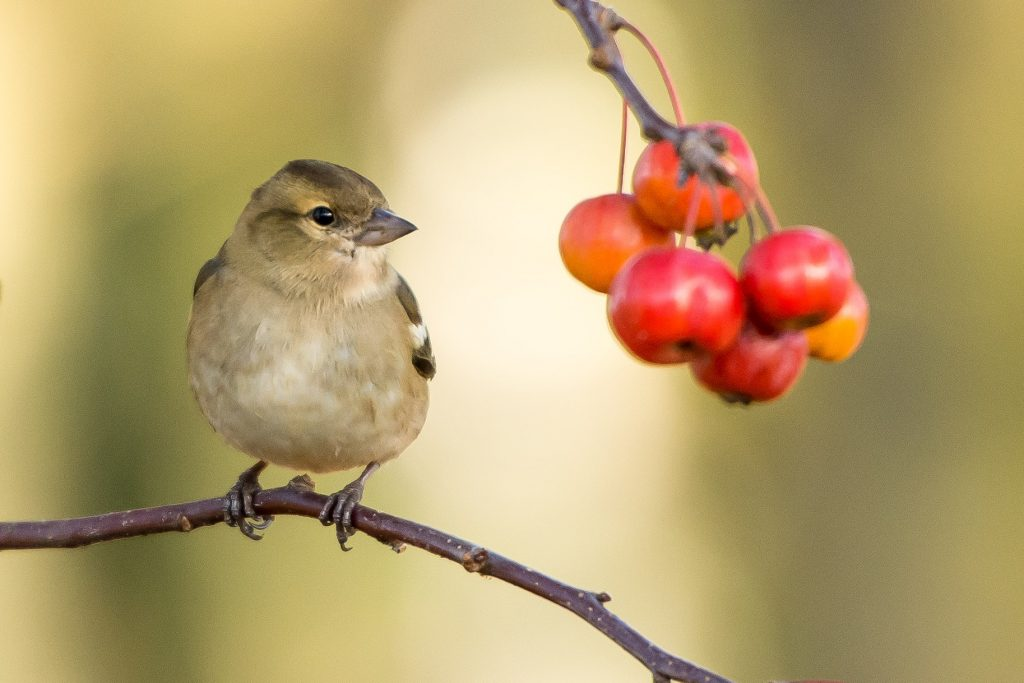 small bird on branch next to berries