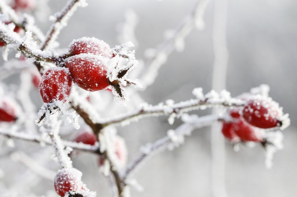 nature photography - frost on red berries