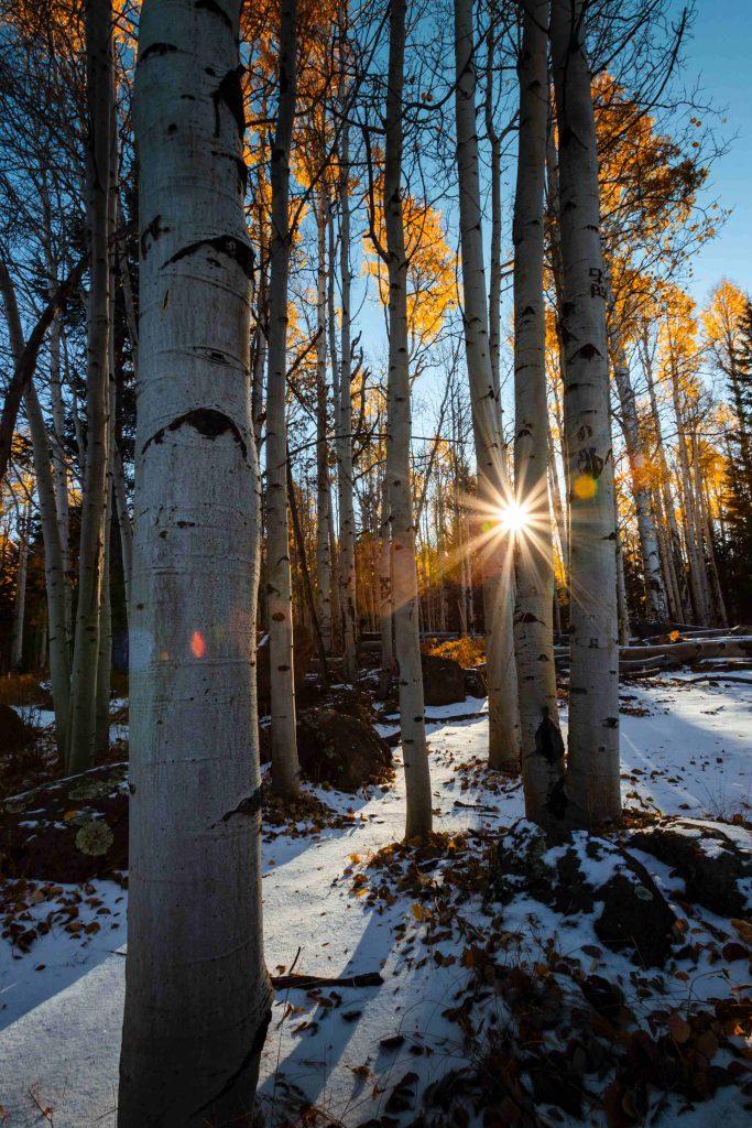 birch tree trunks in winter