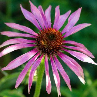 pink echinacea flower