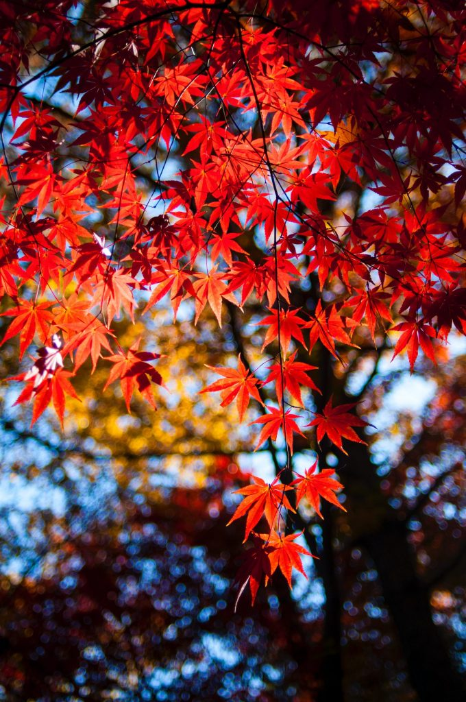 read acer leaves