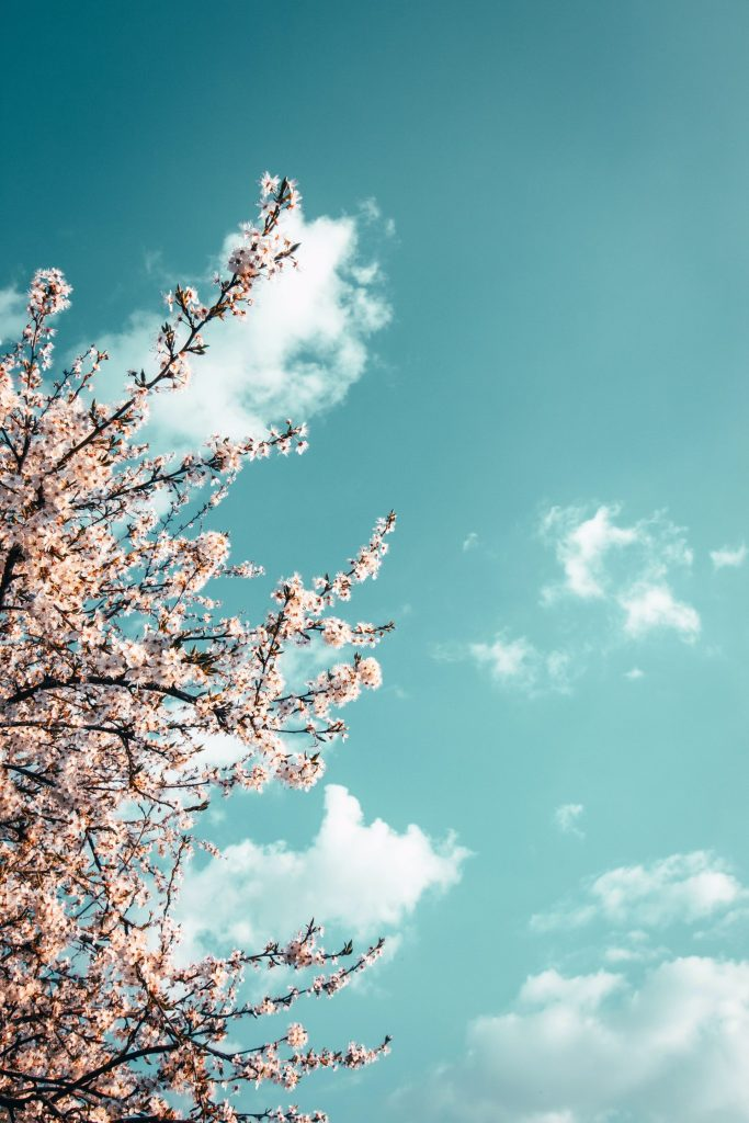 pink tree blossom against blue sky
