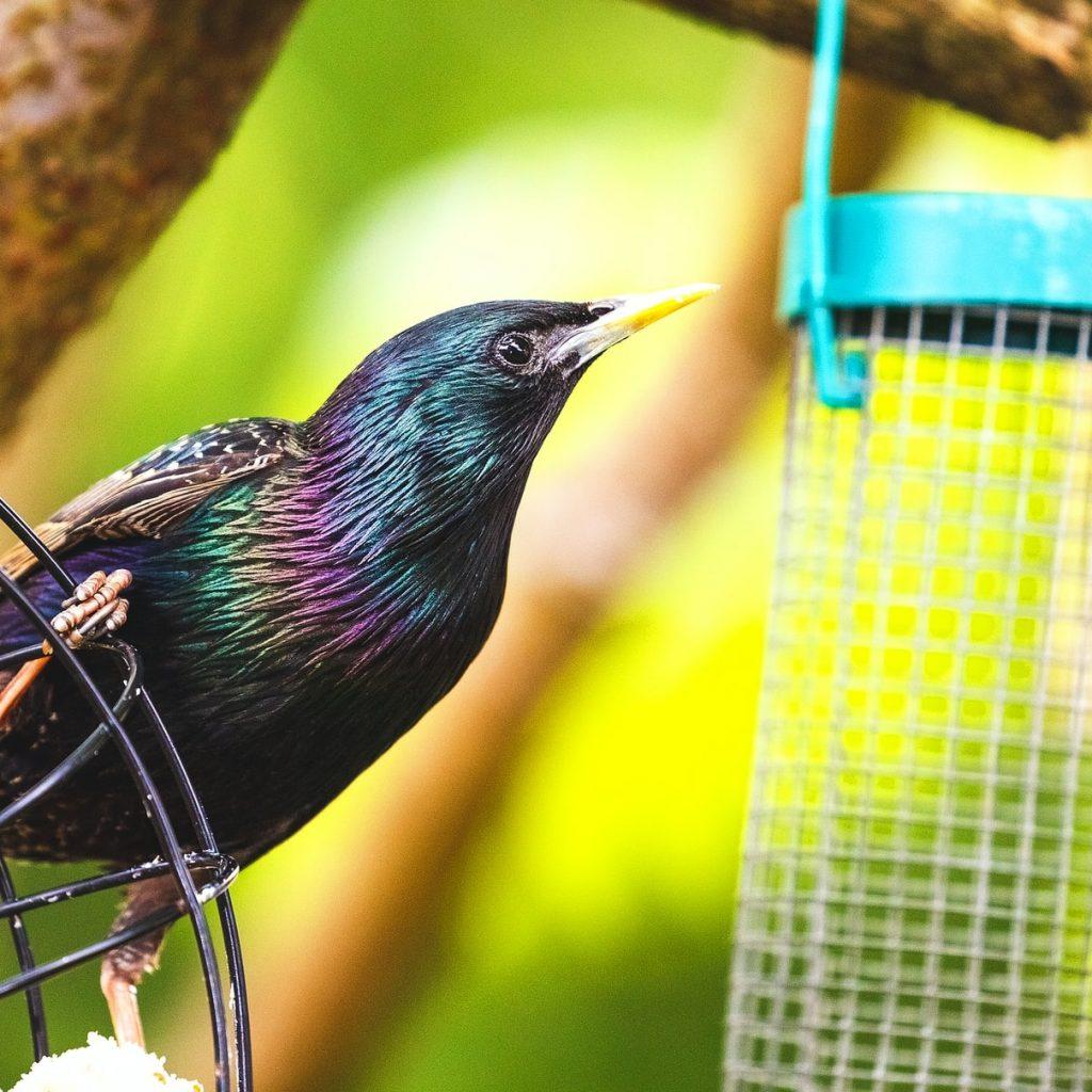 starling on bird feeder