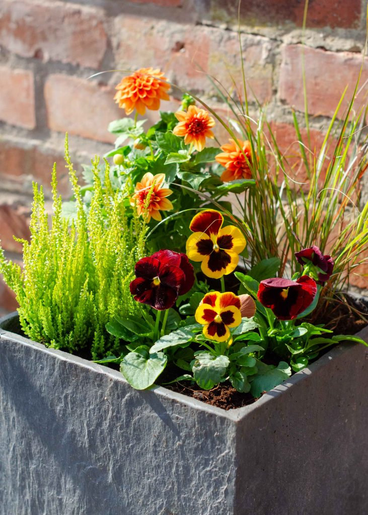 container plant display of pansies, dahlia, heather and grasses