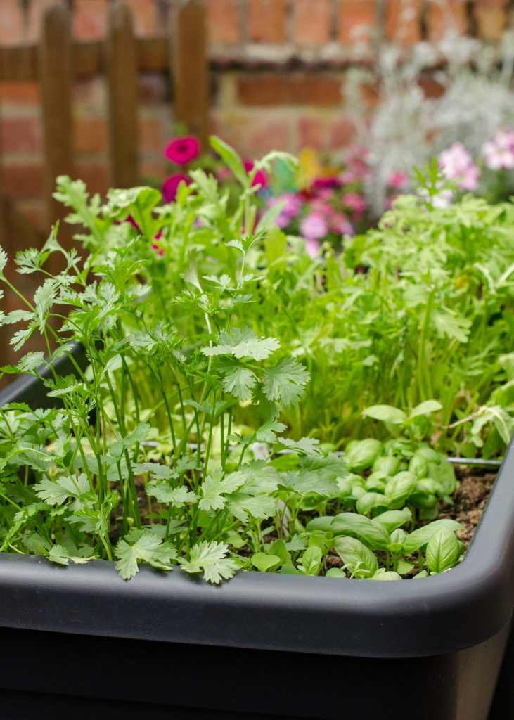 herb and salad plants in raised garden container