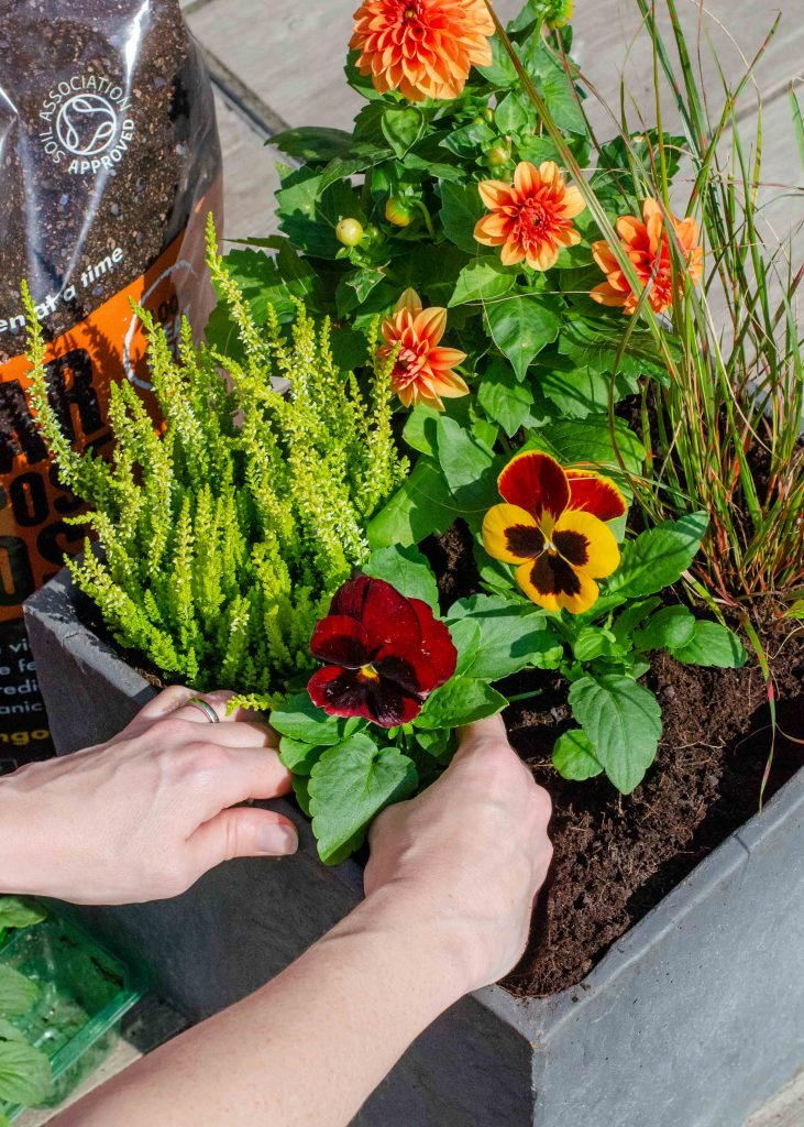 planting a container with orange, yellow and red flowers