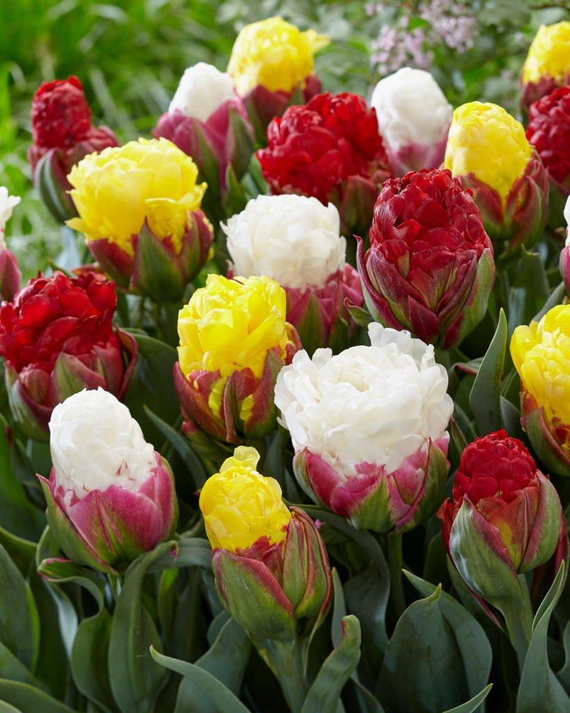 dutchgrown ice cream tulip bulbs