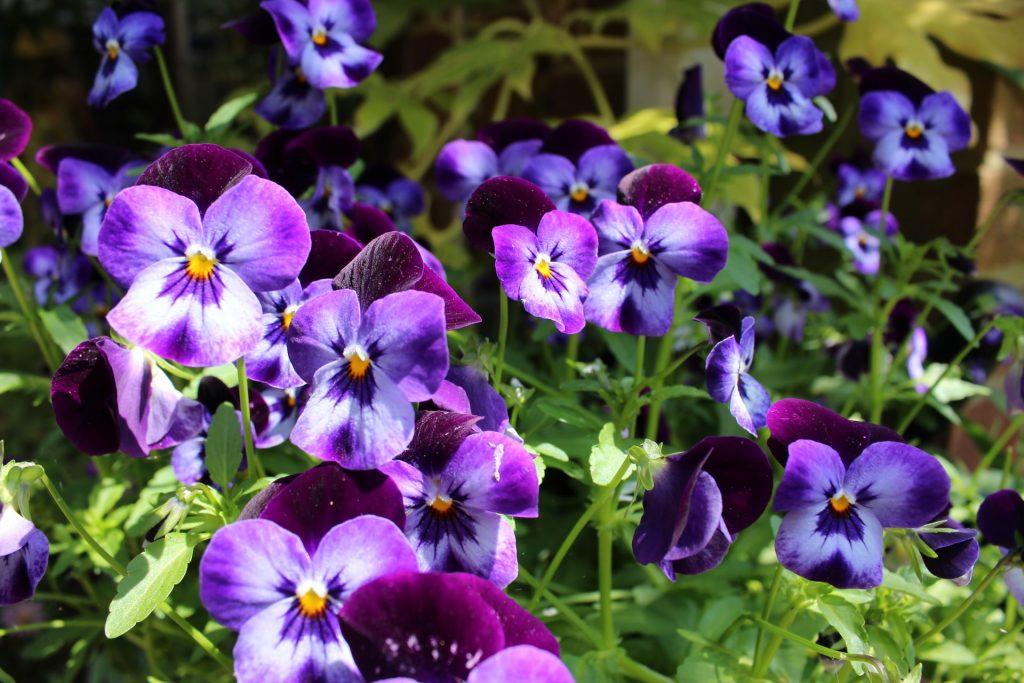 winter garden purple pansy plants