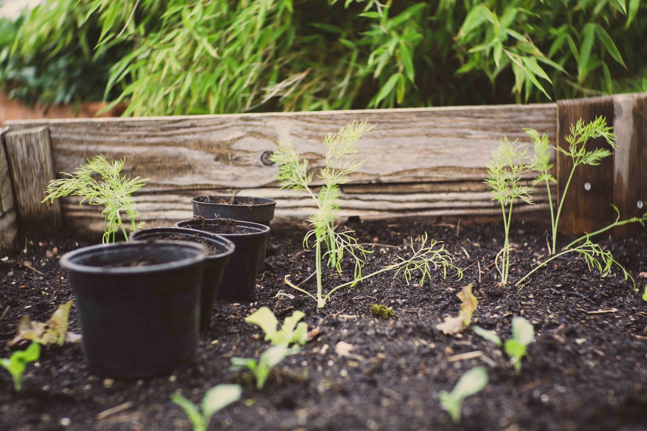 carrot plants growing in raised bed