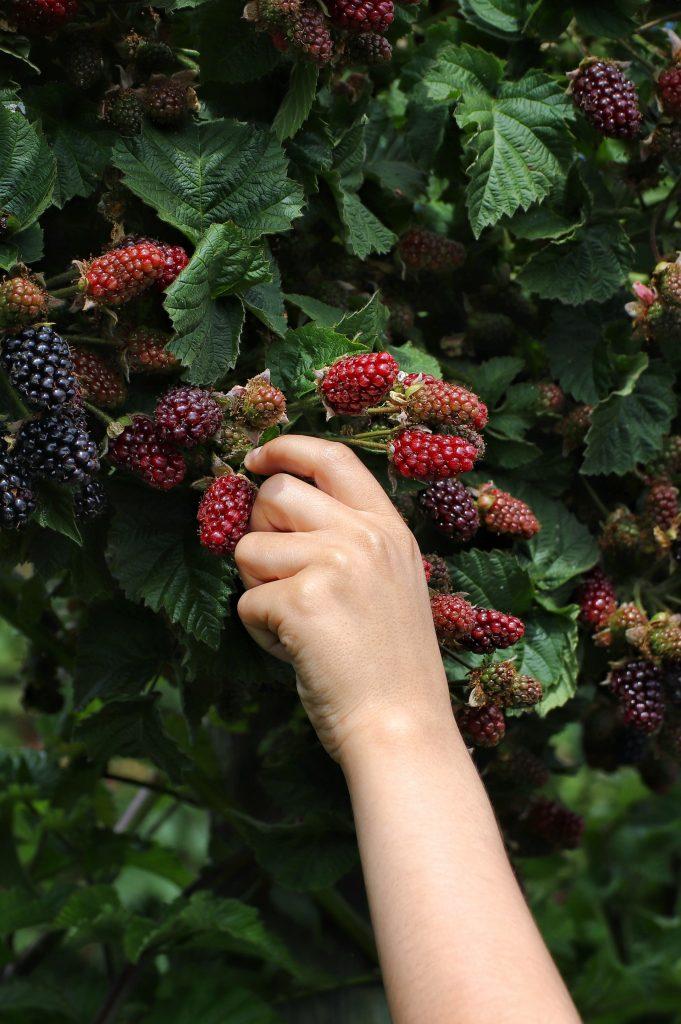 picking blackberries from a bush
