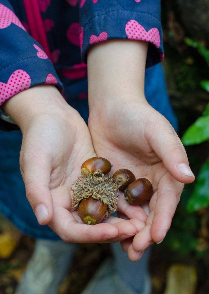 child's hands holding acorns
